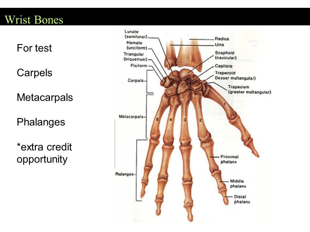 Wrist Bones For test Carpels Metacarpals Phalanges *extra credit opportunity