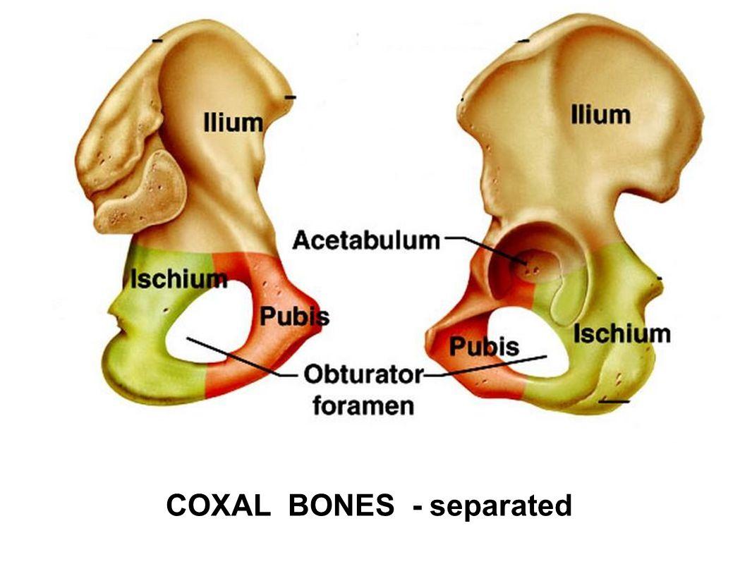 COXAL BONES - separated