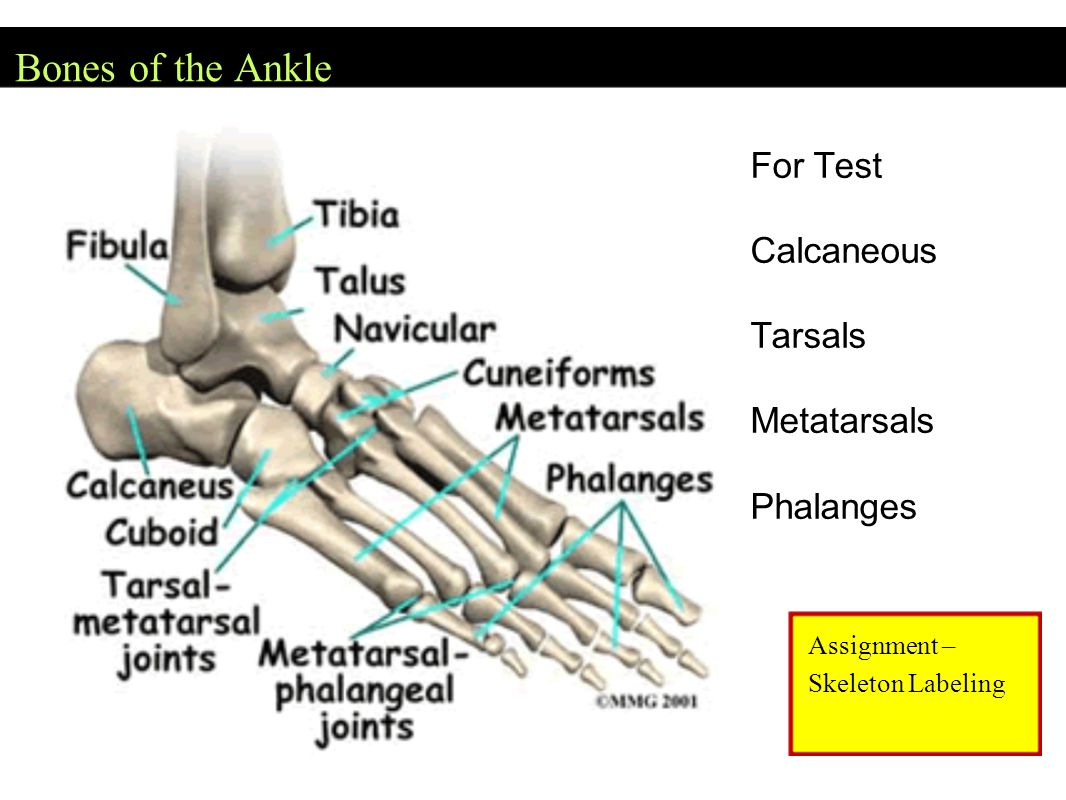 Bones of the Ankle Assignment – Skeleton Labeling For Test Calcaneous Tarsals Metatarsals Phalanges