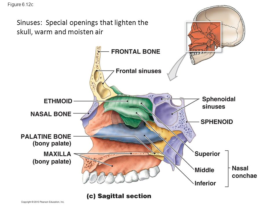 Figure 6.12c Sinuses: Special openings that lighten the skull, warm and moisten air