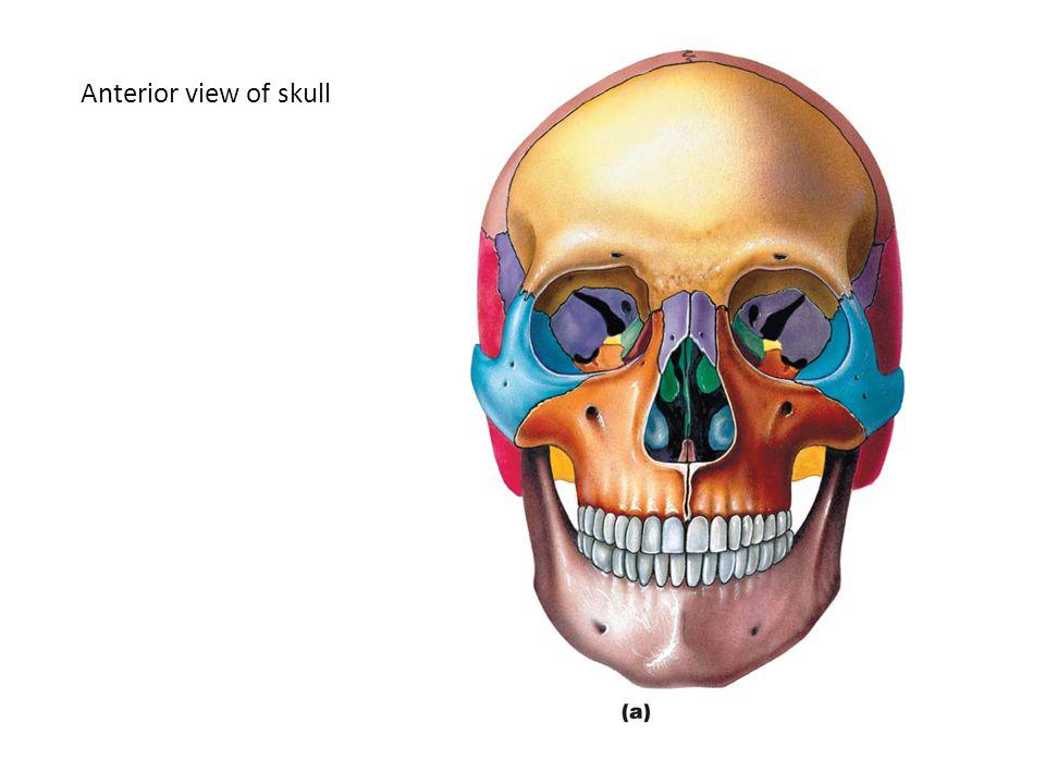 The skull 8 cranial bones: occipital, parietal, frontal, temporal, sphenoid, ethmoid 14 facial bones