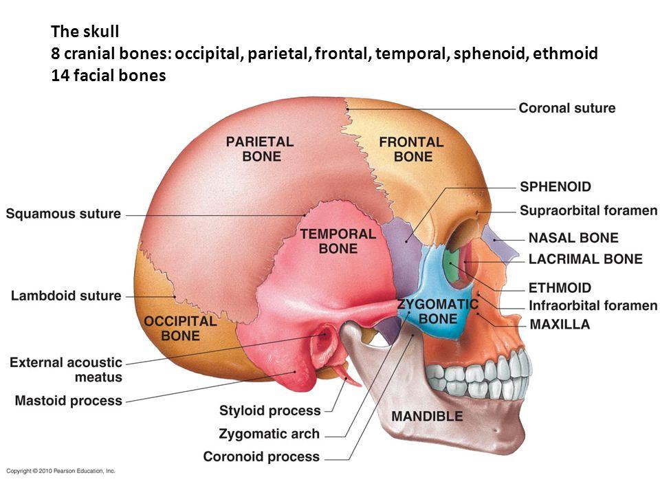 Bone Markings of Vertebra