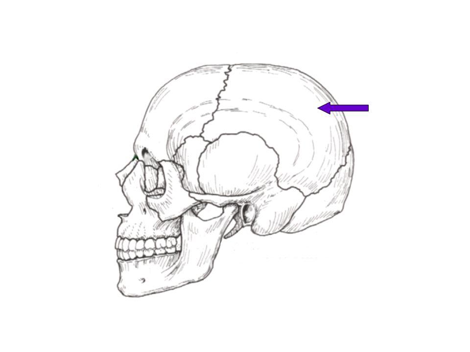 Coronal Suture Articulation between Frontal and 2 Parietal Bones