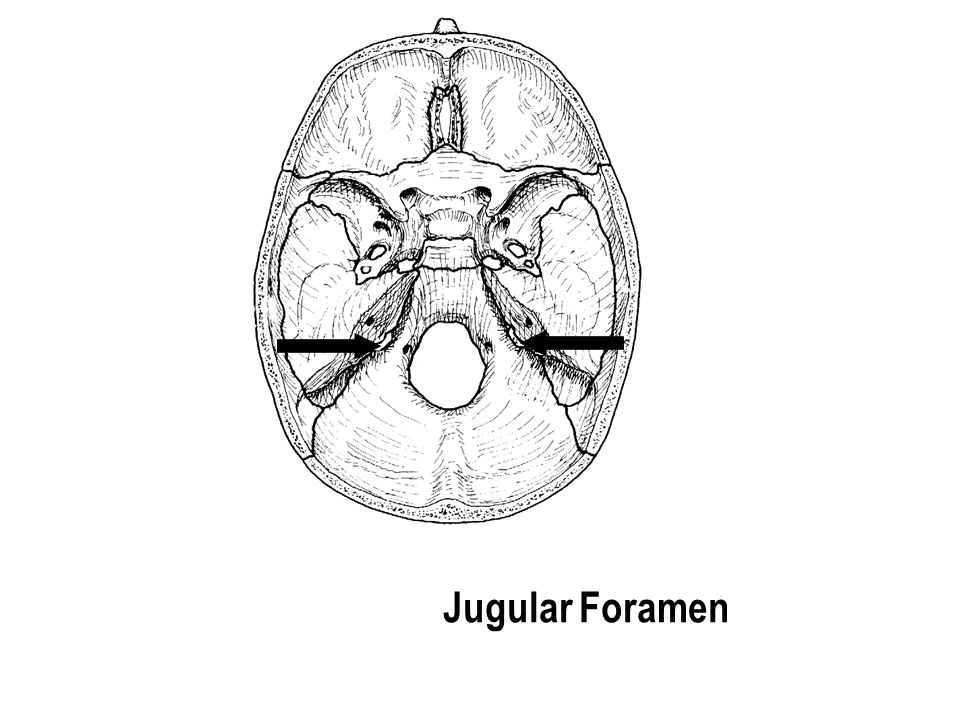 Jugular Foramen The part with the holes