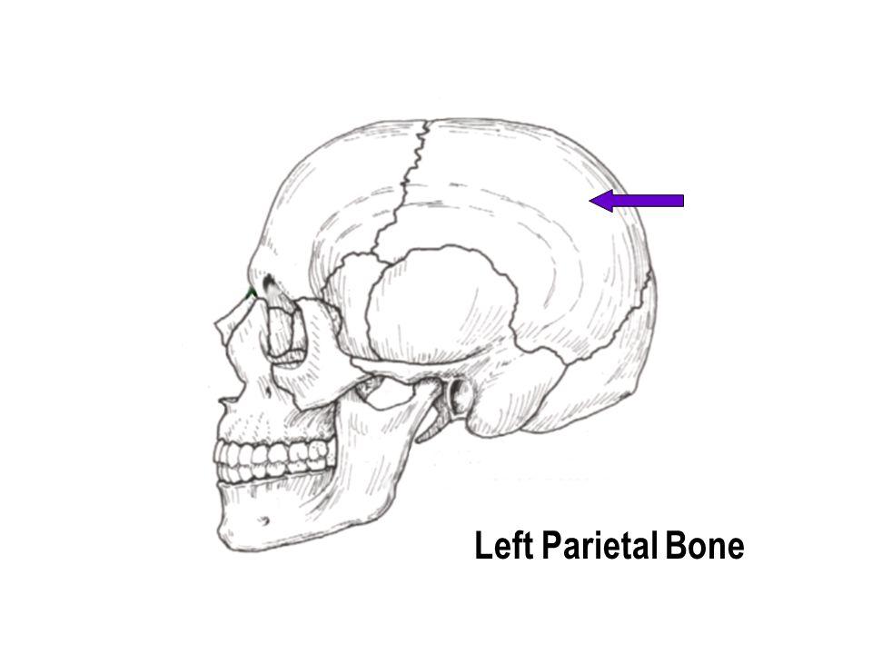 Foramen magnum Occipital Bone