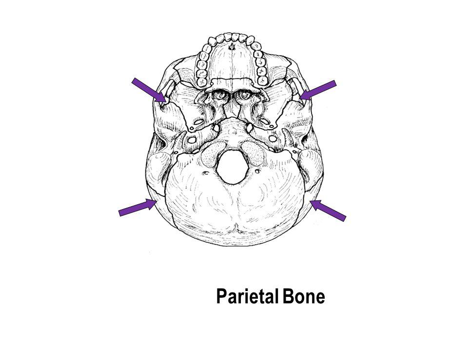 Parietal Bone