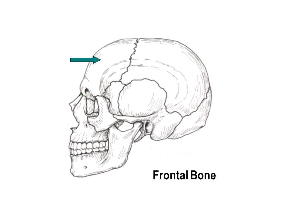 Mastoid Process Temporal Bone