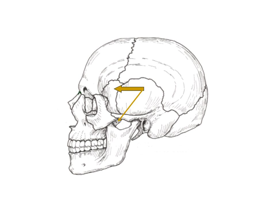 Squamosal Suture Articulation between Temporal and Parietal Bones