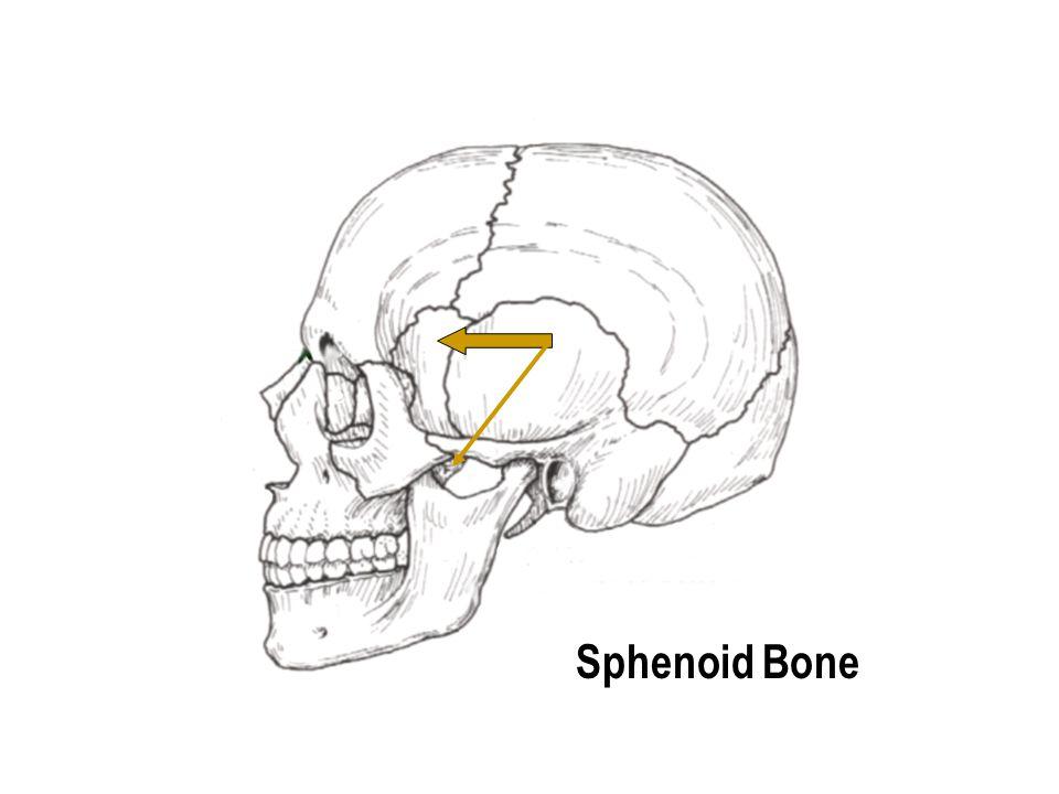 Internal Auditory Meatus Temporal Bone