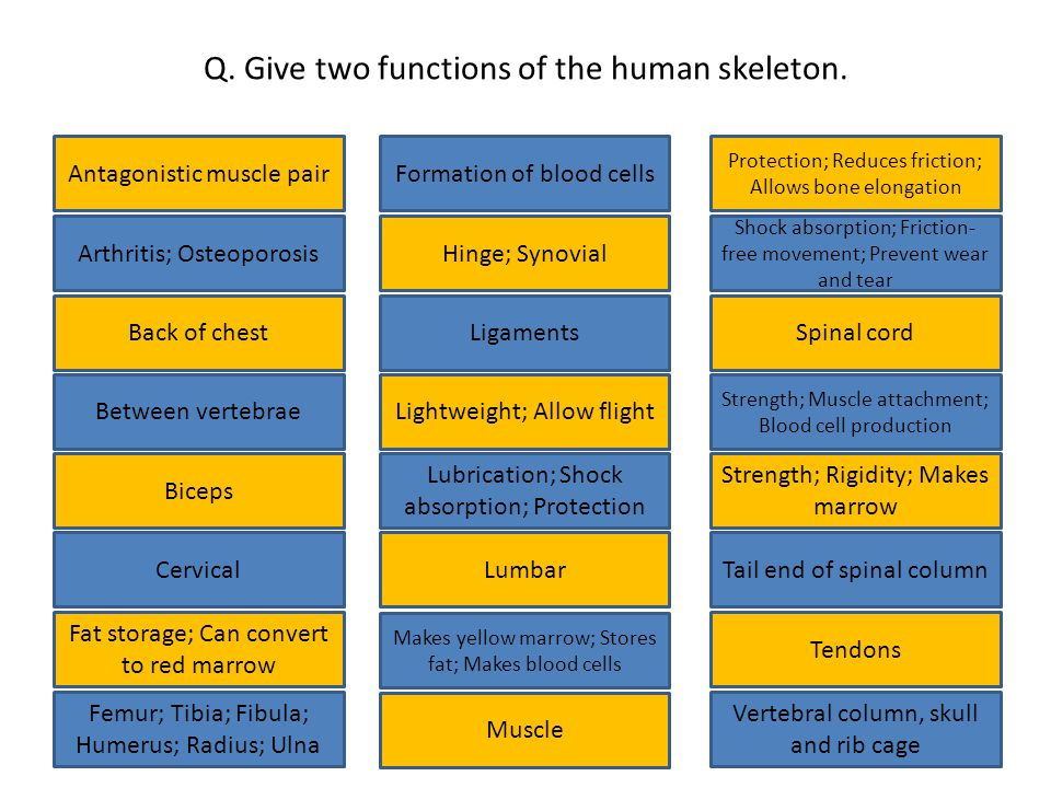 Q. Give two functions of the human skeleton.