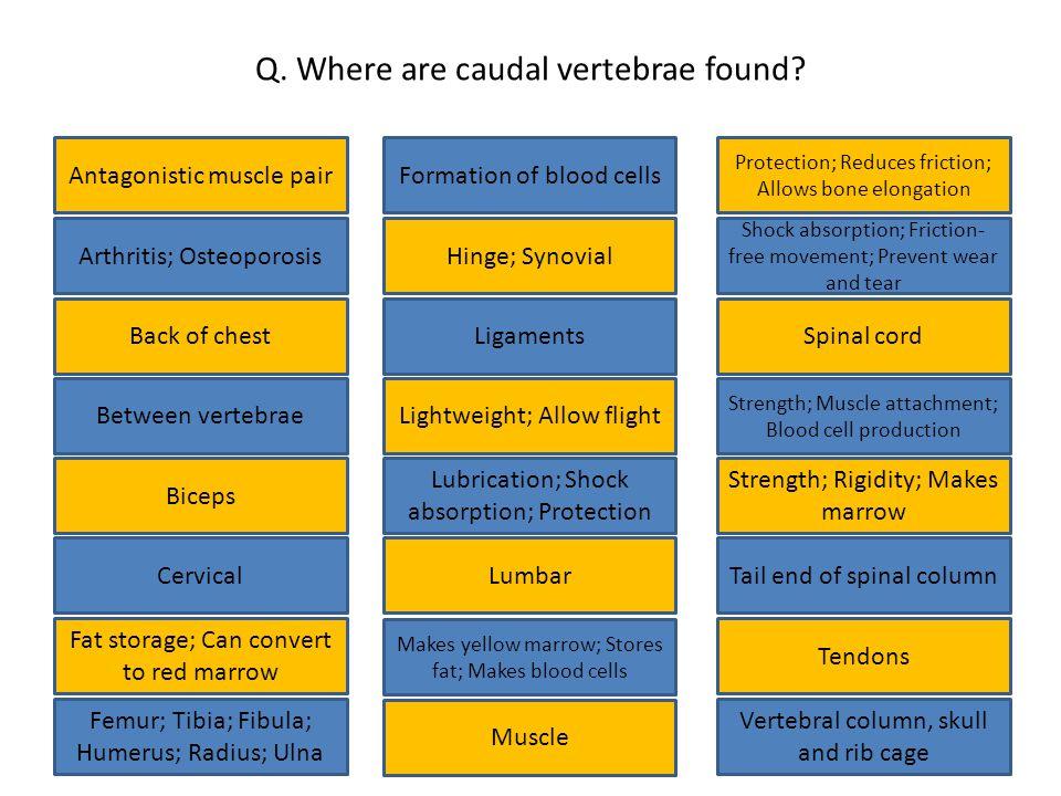 Q. Where are caudal vertebrae found.
