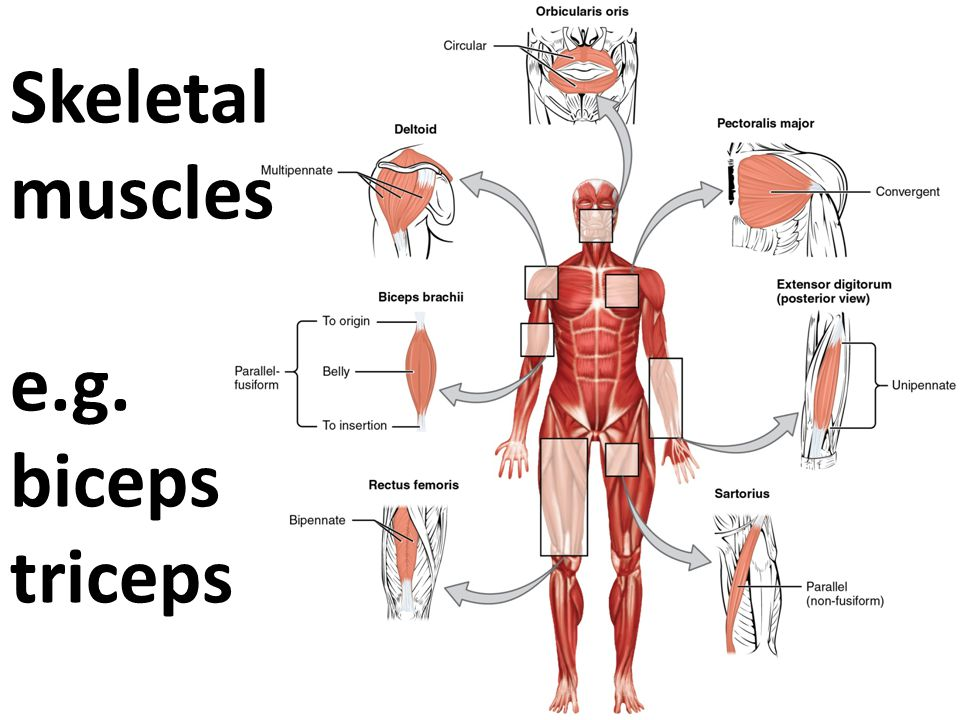 Skeletal muscles e.g. biceps triceps