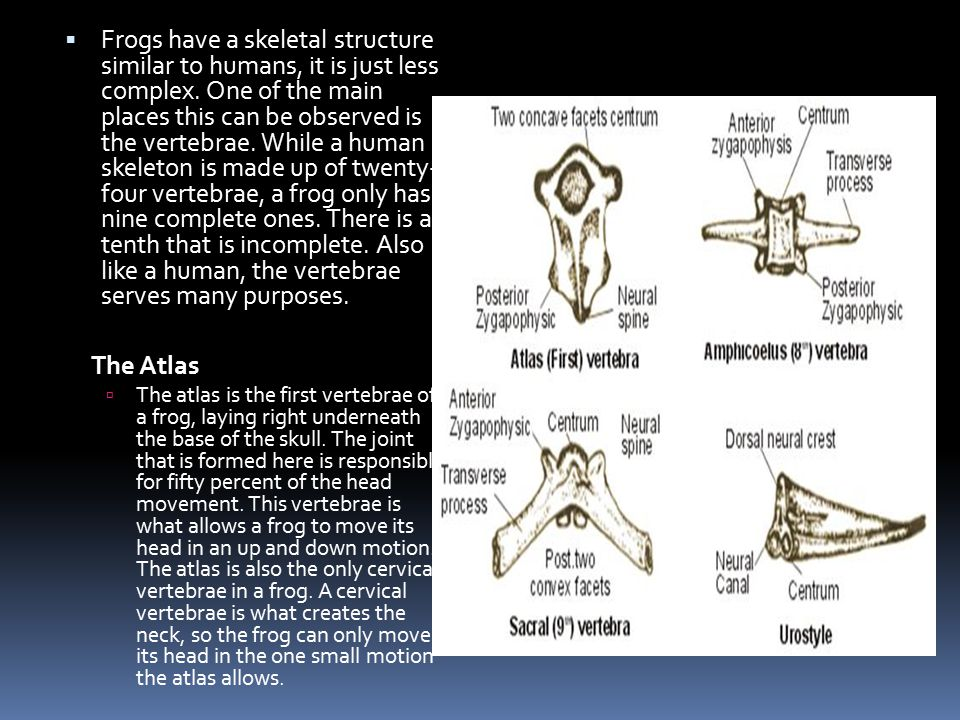  Frogs have a skeletal structure similar to humans, it is just less complex. One of the main places this can be observed is the vertebrae. While a hu