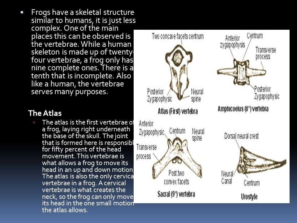 VERTEBRAE  The Abdominal Vertebrae  A frog has only four to seven abdominal vertebrae, depending on their size.