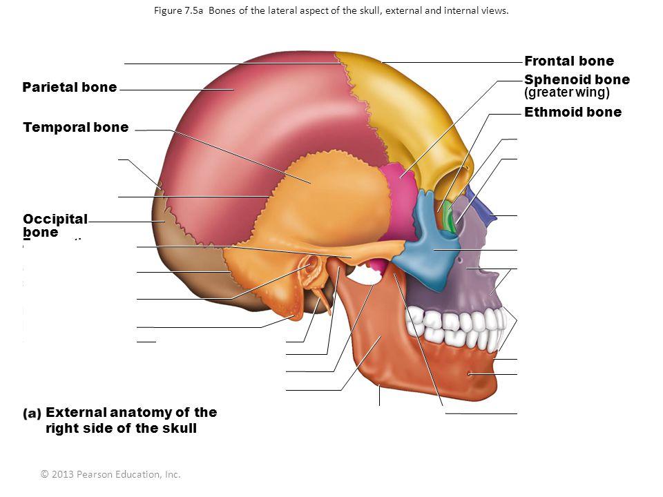 © 2013 Pearson Education, Inc. Figure 7.5a Bones of the lateral aspect of the skull, external and internal views. Coronal suture Parietal bone Tempora