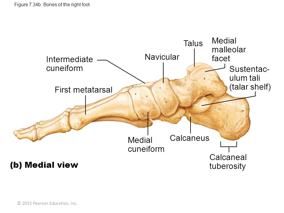 © 2013 Pearson Education, Inc.Figure 7.34b Bones of the right foot.
