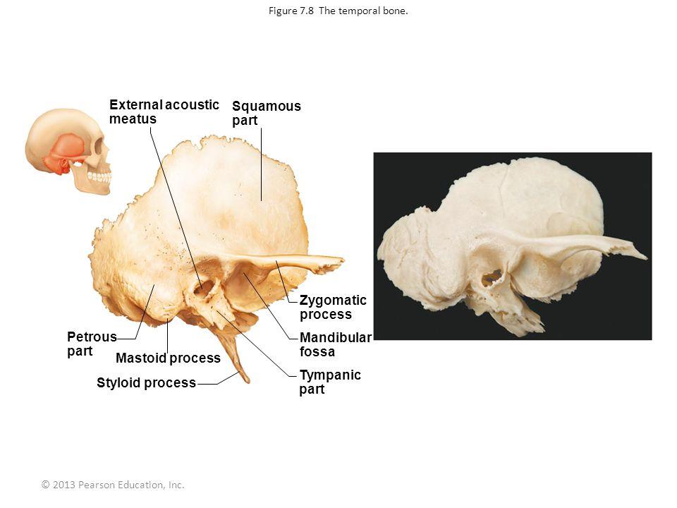 © 2013 Pearson Education, Inc. Figure 7.8 The temporal bone. External acoustic meatus Squamous part Petrous part Mastoid process Styloid process Zygom