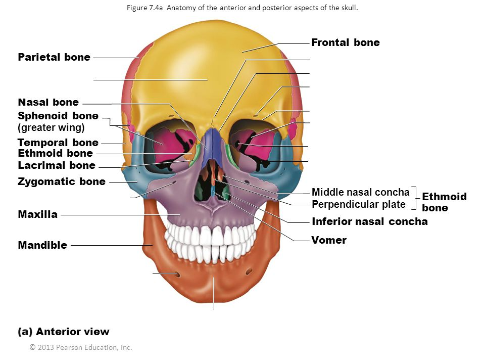 © 2013 Pearson Education, Inc. Figure 7.4a Anatomy of the anterior and posterior aspects of the skull. Parietal bone Squamous part of frontal bone Nas