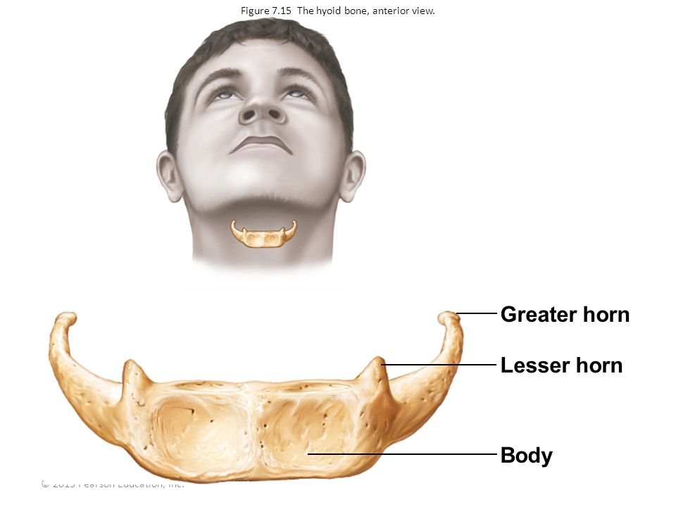 © 2013 Pearson Education, Inc. Greater horn Lesser horn Body Figure 7.15 The hyoid bone, anterior view.