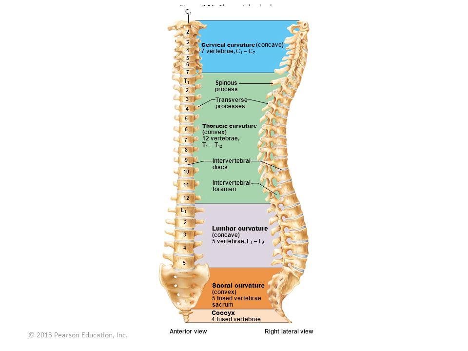 © 2013 Pearson Education, Inc. Figure 7.16 The vertebral column. Cervical curvature (concave) 7 vertebrae, C 1 – C 7 Spinous process Transverse proces