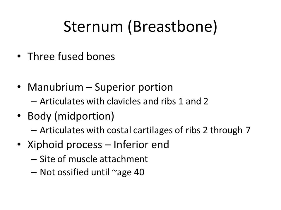 Sternum (Breastbone) Three fused bones Manubrium – Superior portion – Articulates with clavicles and ribs 1 and 2 Body (midportion) – Articulates with costal cartilages of ribs 2 through 7 Xiphoid process – Inferior end – Site of muscle attachment – Not ossified until ~age 40
