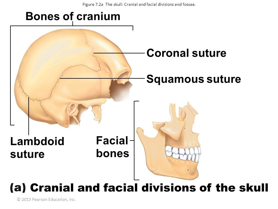 © 2013 Pearson Education, Inc.Figure 7.2a The skull: Cranial and facial divisions and fossae.