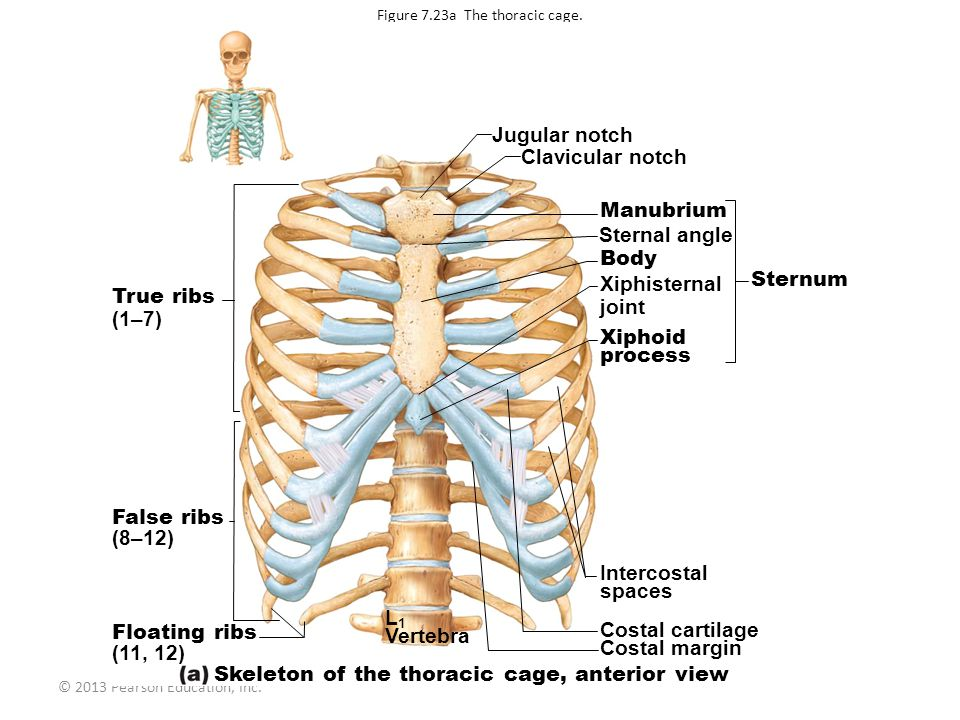 © 2013 Pearson Education, Inc.Figure 7.23a The thoracic cage.
