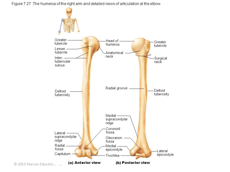 © 2013 Pearson Education, Inc. Figure 7.27 The humerus of the right arm and detailed views of articulation at the elbow. Greater tubercle Lesser tuber
