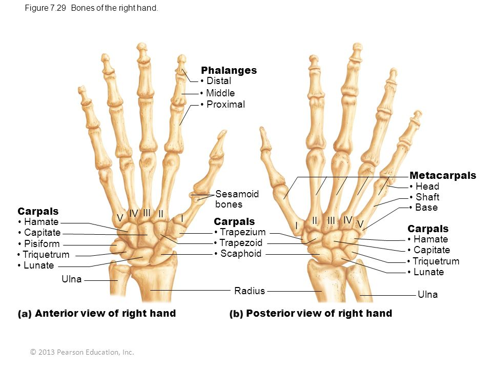 © 2013 Pearson Education, Inc.Figure 7.29 Bones of the right hand.