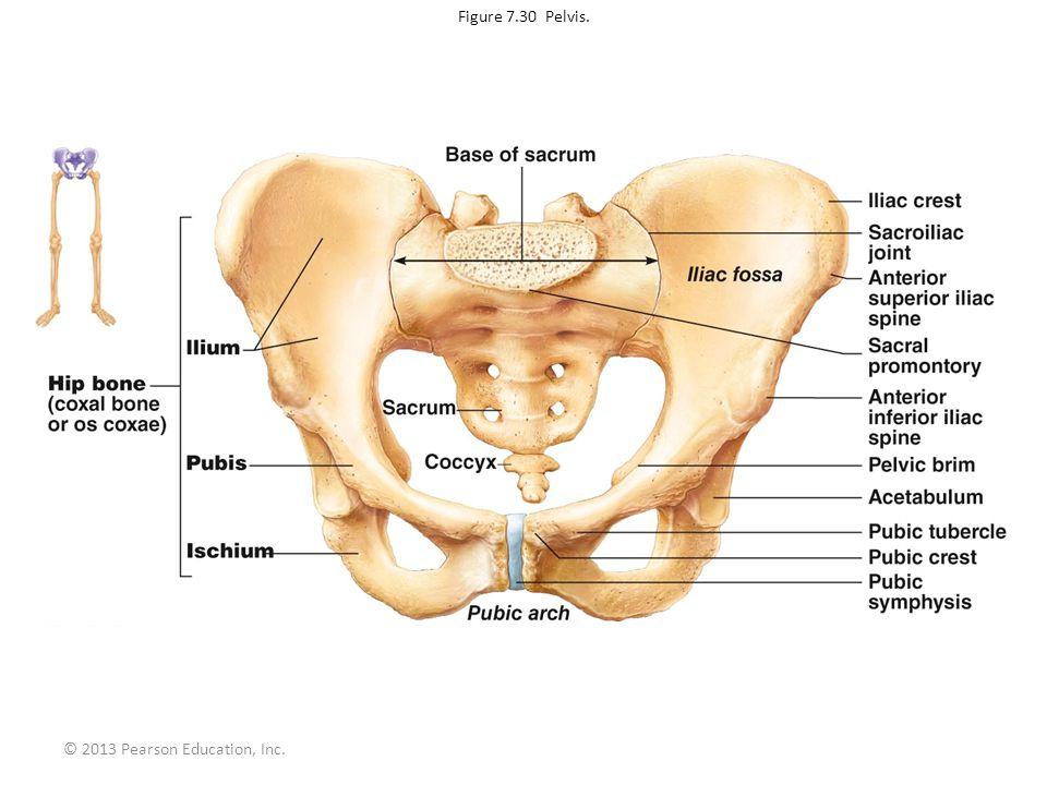 © 2013 Pearson Education, Inc. Figure 7.30 Pelvis.