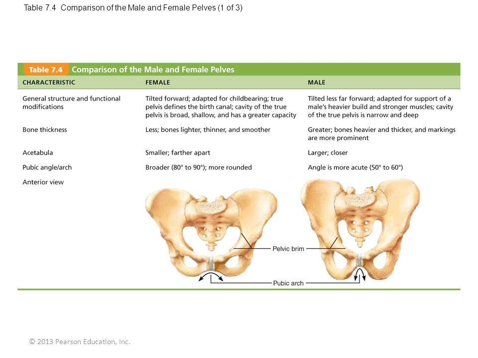 © 2013 Pearson Education, Inc. Table 7.4 Comparison of the Male and Female Pelves (1 of 3)