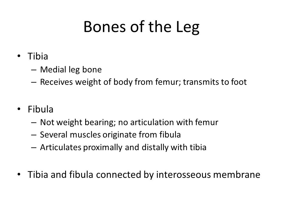 Bones of the Leg Tibia – Medial leg bone – Receives weight of body from femur; transmits to foot Fibula – Not weight bearing; no articulation with femur – Several muscles originate from fibula – Articulates proximally and distally with tibia Tibia and fibula connected by interosseous membrane