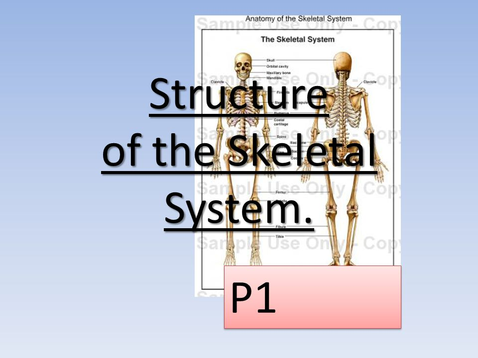 Structure of the Skeleton We know that the 206 bones of the skeleton are split into two different groups… The Axial Skeleton – 80 bones The Appendicular skeleton – 126 bones