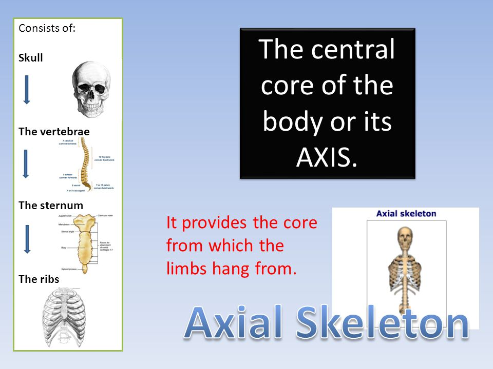 The parts/ limbs hanging off of the AXIAL skeleton.
