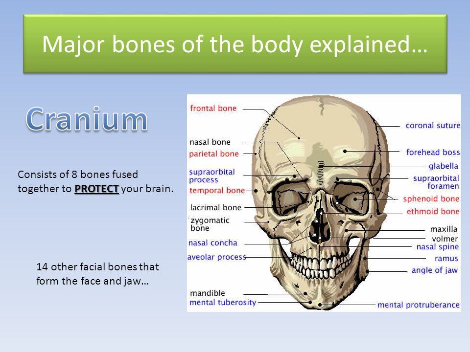 Flat bone in the middle of your chest shaped like a dagger.