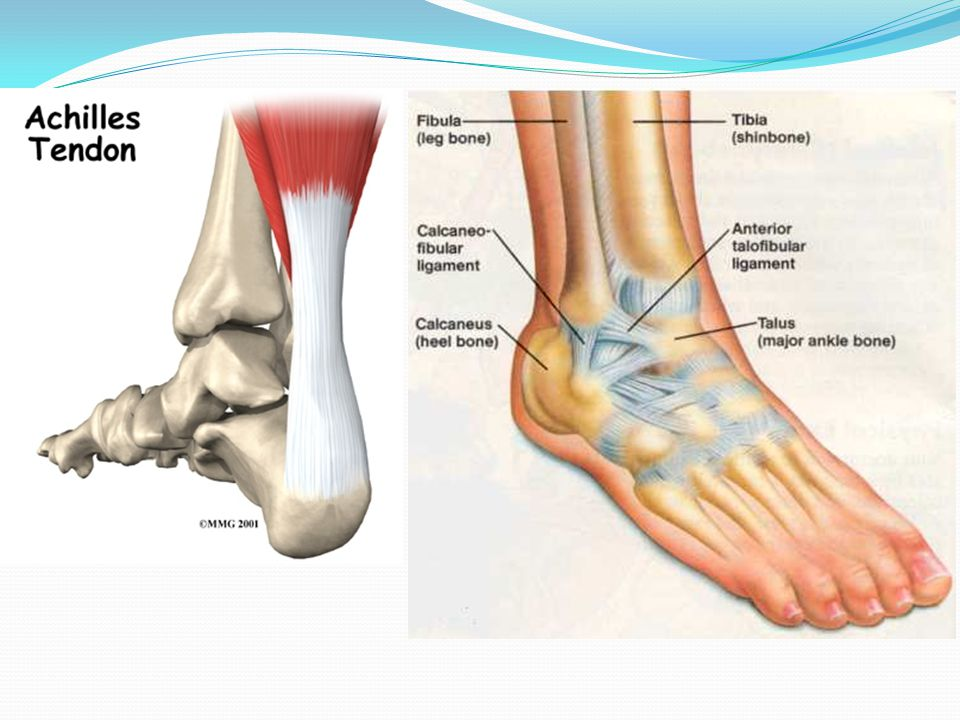Ligaments Tough bands of fibrous, slightly elastic tissue that bind the bond ends at the joint. Prevent excessive movement at the joint. TENDONS: Fibr