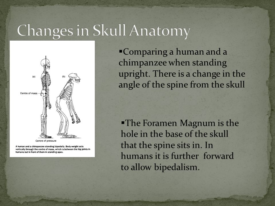  Comparing a human and a chimpanzee when standing upright.