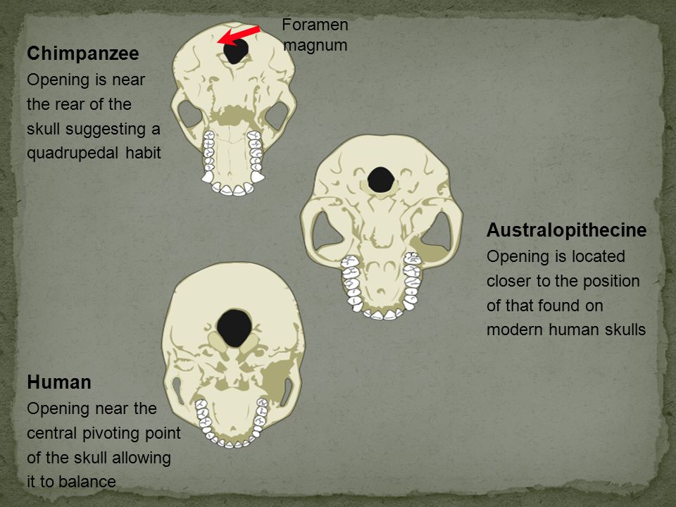 Australopithecine Opening is located closer to the position of that found on modern human skulls Foramen magnum Chimpanzee Opening is near the rear of the skull suggesting a quadrupedal habit Human Opening near the central pivoting point of the skull allowing it to balance