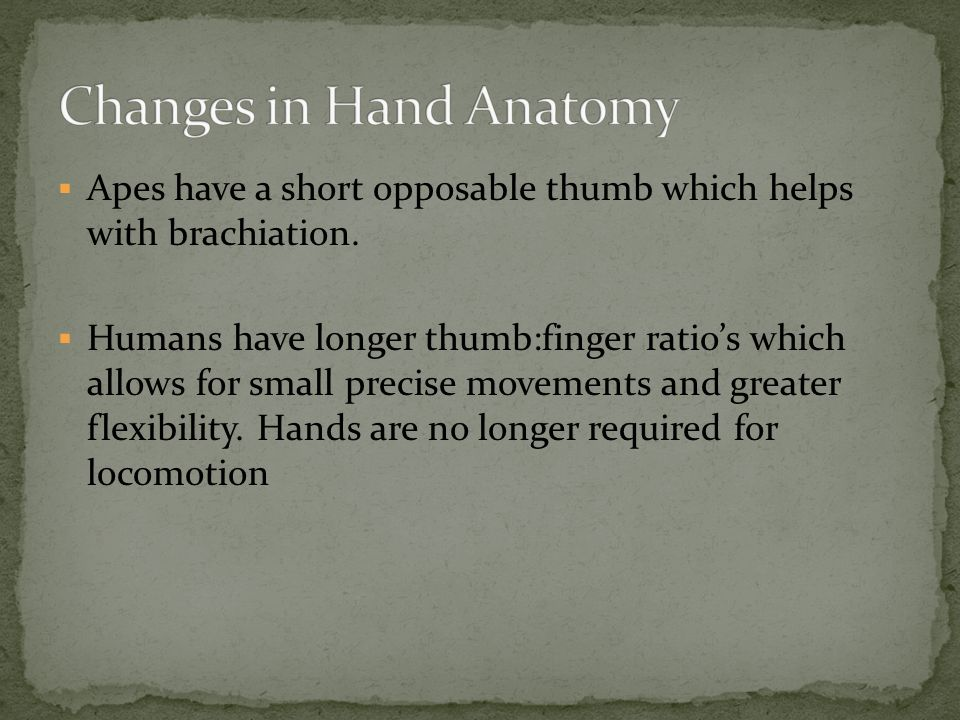  Apes have a short opposable thumb which helps with brachiation.