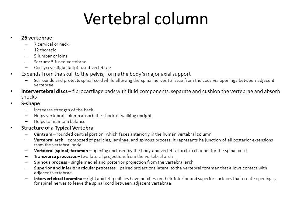 Vertebral column 26 vertebrae – 7 cervical or neck – 12 thoracic – 5 lumbar or loins – Sacrum: 5 fused vertebrae – Coccyx: vestigial tail; 4 fused ver