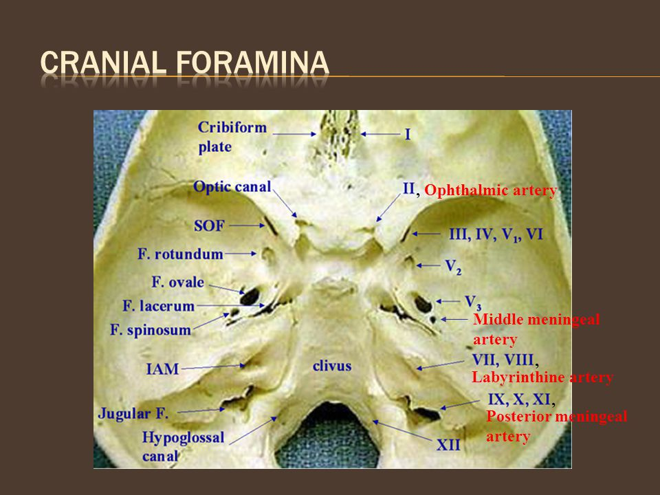 , Ophthalmic artery Middle meningeal artery Labyrinthine artery, Posterior meningeal artery,
