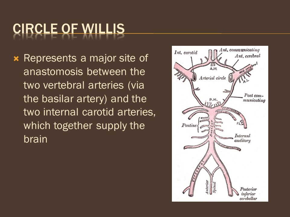  Represents a major site of anastomosis between the two vertebral arteries (via the basilar artery) and the two internal carotid arteries, which toge