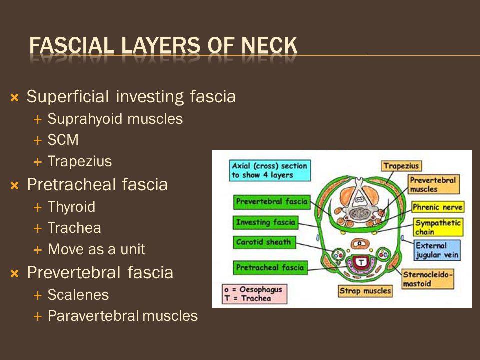  Superficial investing fascia  Suprahyoid muscles  SCM  Trapezius  Pretracheal fascia  Thyroid  Trachea  Move as a unit  Prevertebral fascia