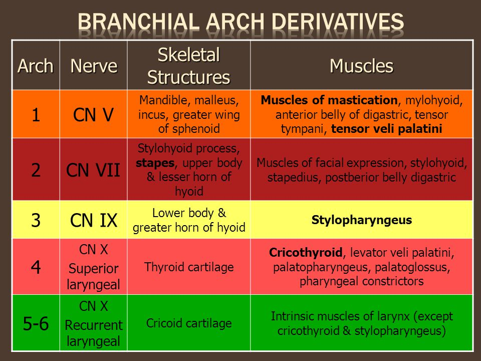 ArchNerve Skeletal Structures Muscles 1CN V Mandible, malleus, incus, greater wing of sphenoid Muscles of mastication, mylohyoid, anterior belly of di