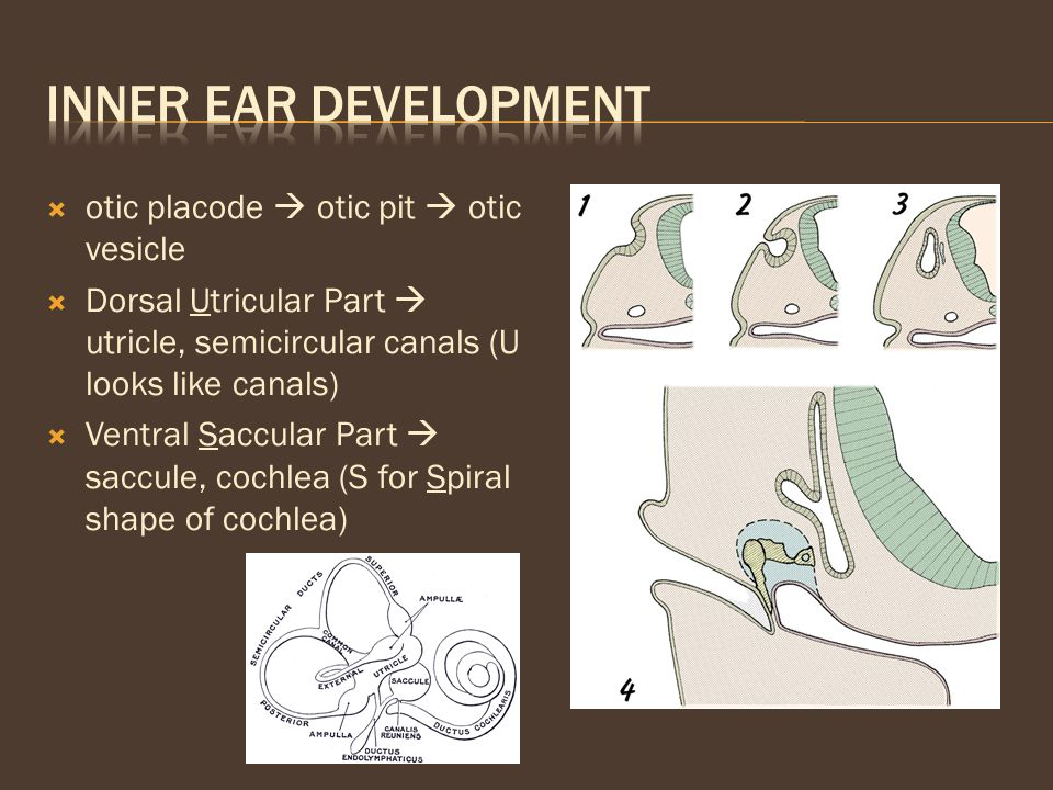  otic placode  otic pit  otic vesicle  Dorsal Utricular Part  utricle, semicircular canals (U looks like canals)  Ventral Saccular Part  saccul