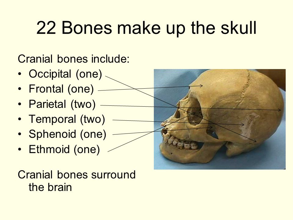 22 Bones make up the skull Cranial bones include: Occipital (one) Frontal (one) Parietal (two) Temporal (two) Sphenoid (one) Ethmoid (one) Cranial bones surround the brain