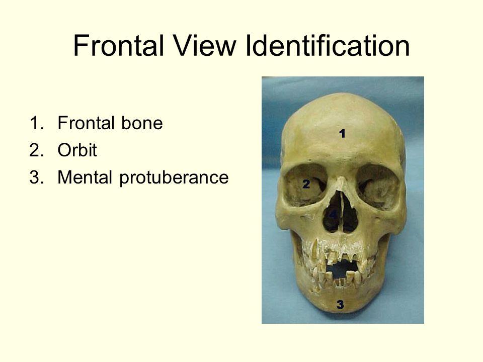 Frontal View Identification 1.Frontal bone 2.Orbit 3.Mental protuberance
