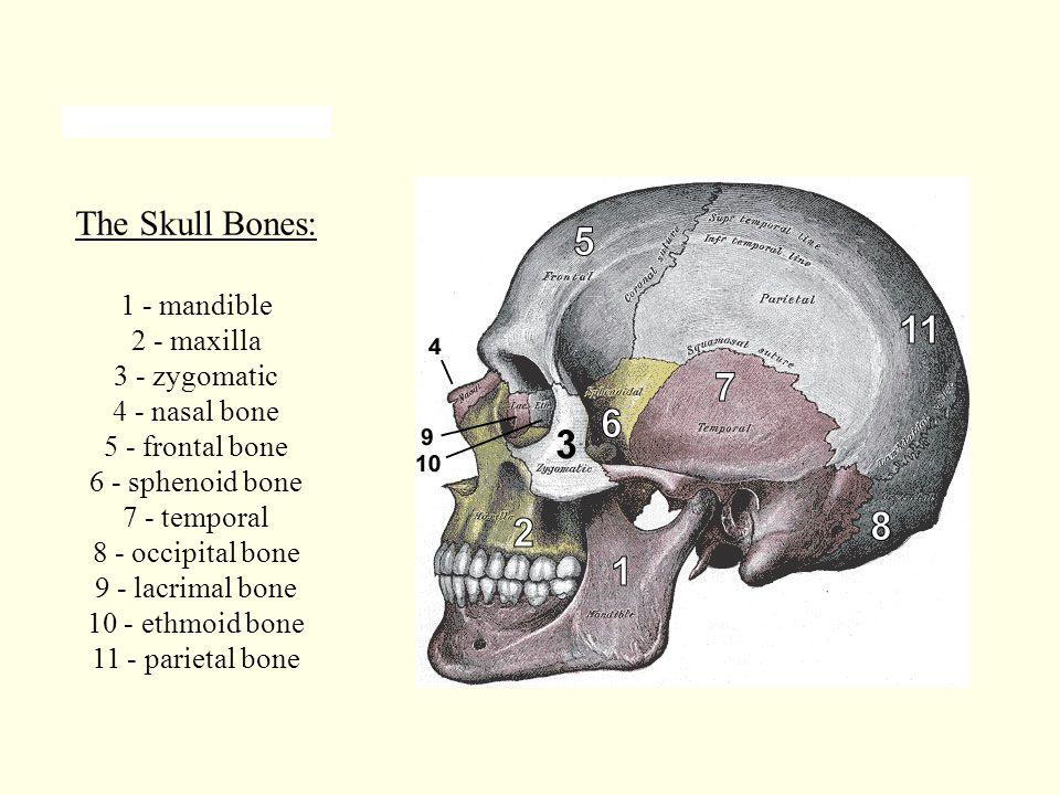 The Skull Bones: 1 - mandible 2 - maxilla 3 - zygomatic 4 - nasal bone 5 - frontal bone 6 - sphenoid bone 7 - temporal 8 - occipital bone 9 - lacrimal