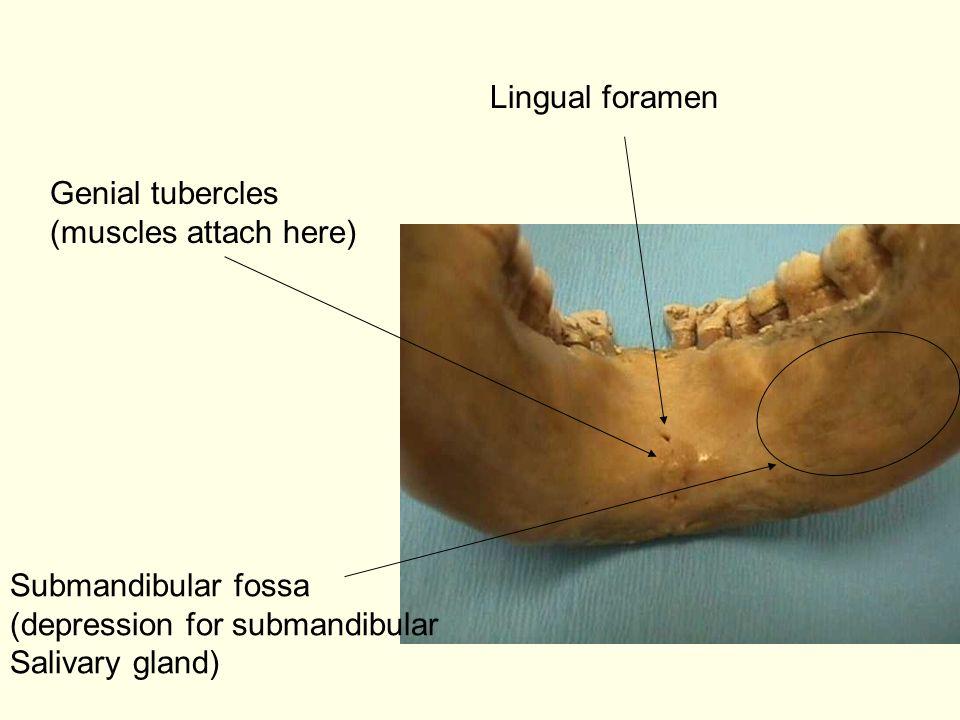 Lingual foramen Genial tubercles (muscles attach here) Submandibular fossa (depression for submandibular Salivary gland)