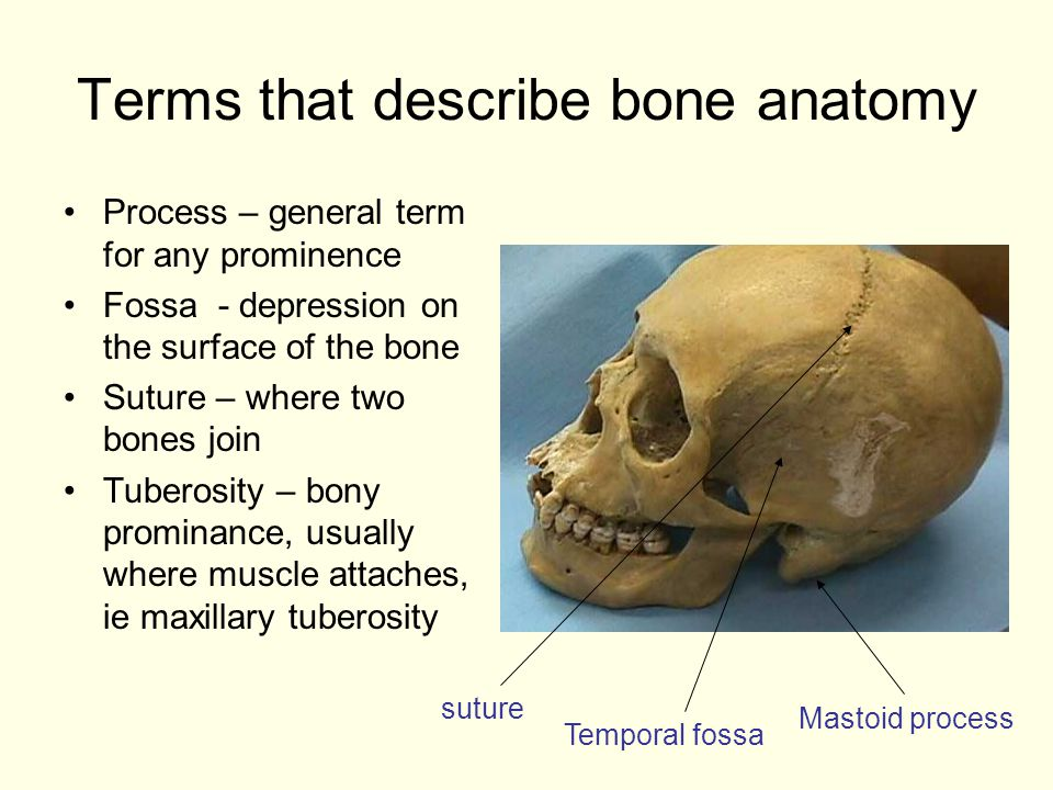 Terms that describe bone anatomy Process – general term for any prominence Fossa - depression on the surface of the bone Suture – where two bones join Tuberosity – bony prominance, usually where muscle attaches, ie maxillary tuberosity Mastoid process Temporal fossa suture